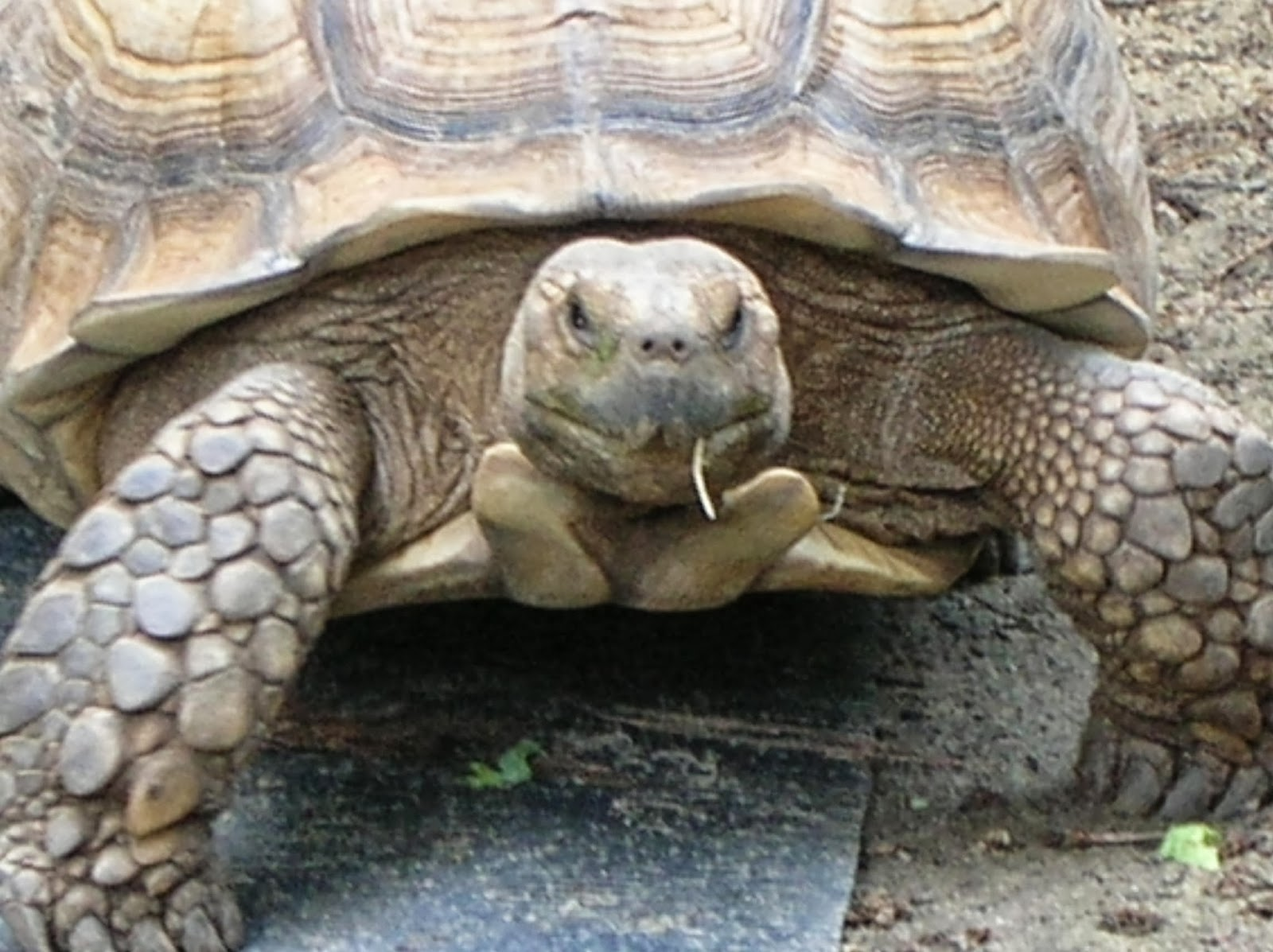 rules of the jungle the african spurred tortoise