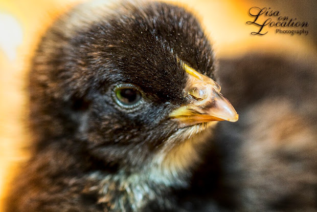 barred rock pullets, chicks, chickens, Plymouth Rock