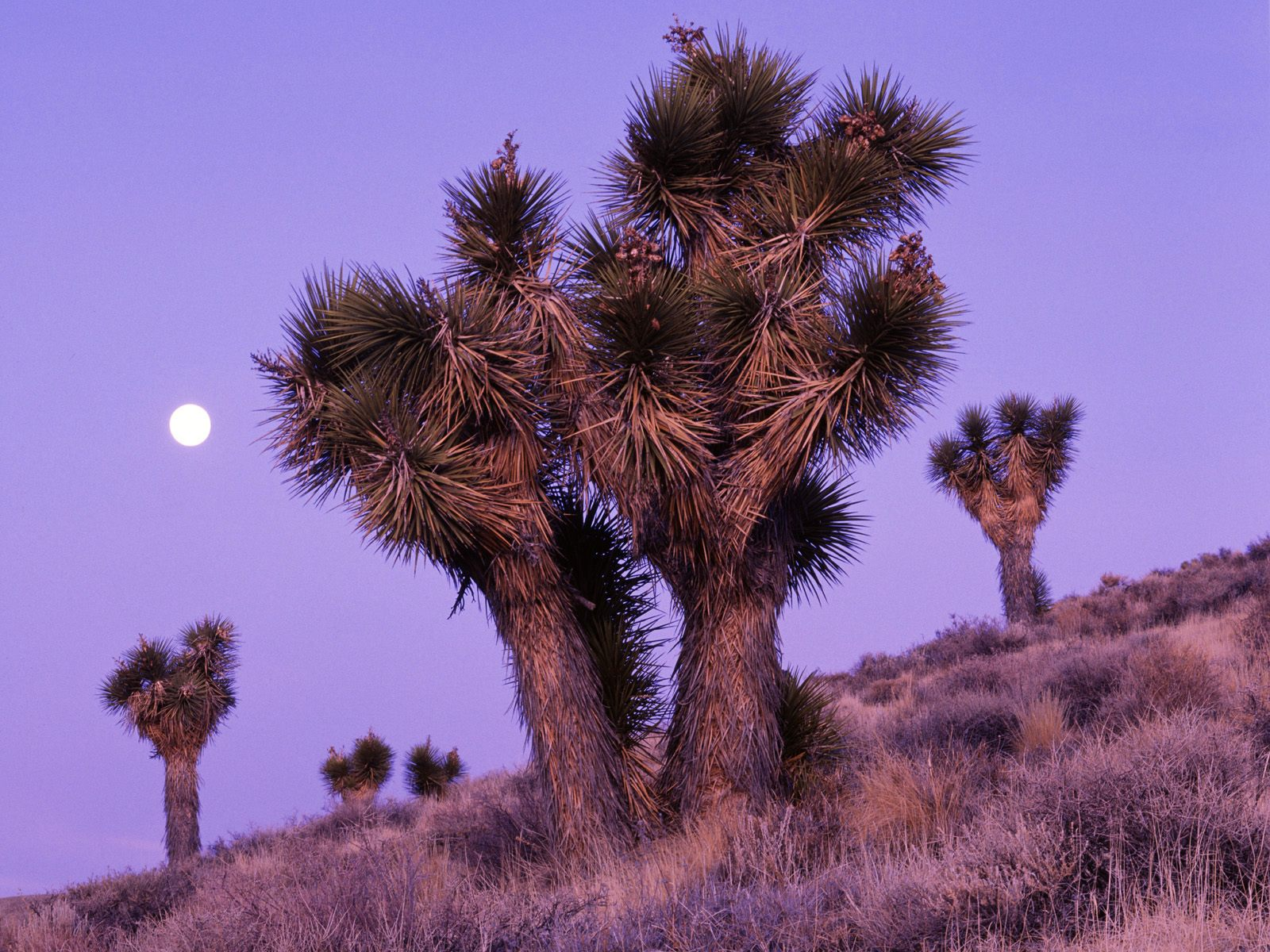 http://4.bp.blogspot.com/-n40fRNEN8tk/ULoT8_rBLBI/AAAAAAAAIq4/WcOamYEVmwc/s1600/Moonrise+Over+Joshua+Trees,+Death+Valley+National+Park,+Cali.jpg