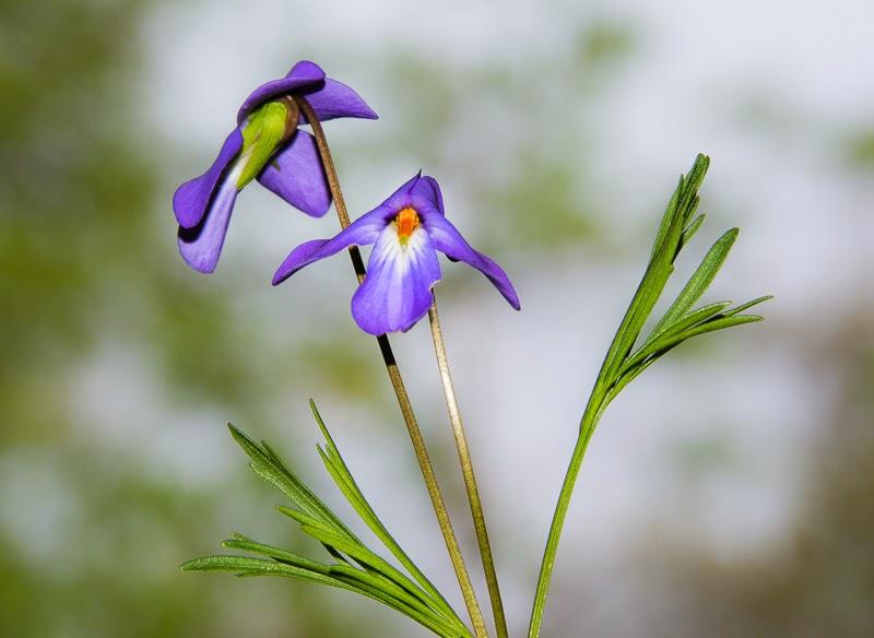 Ozark wildflowers_bird's foot violet