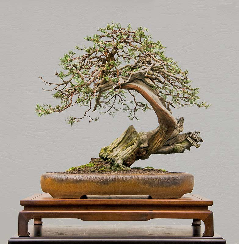 walter pall bonsai adventures rocky mountain juniper 5