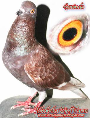 Jual Burung Merpati Berkelas dan Berkualitas