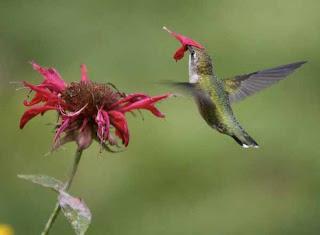 Foto Burung Kolibri Mencari Makan