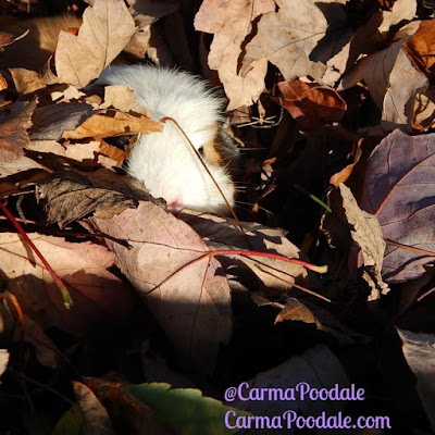 guinea pig looking out from under the leaves