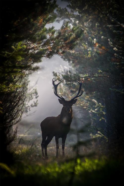 http://denlart.tumblr.com/post/82377695140/brazenbvll-red-deer-stag#.VFn6KktN3FE