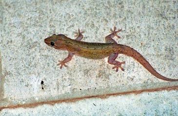Australian Gecko