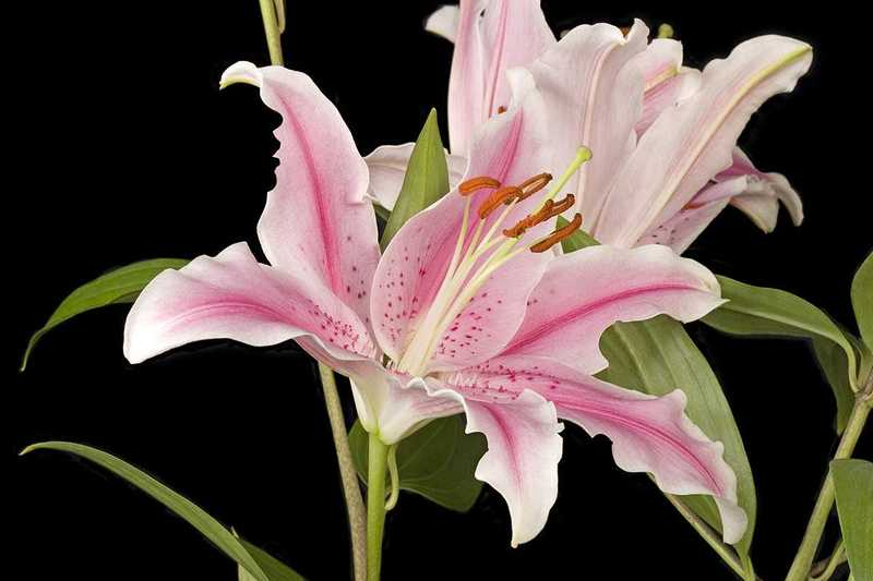Romantic Flowers: Lily Flower