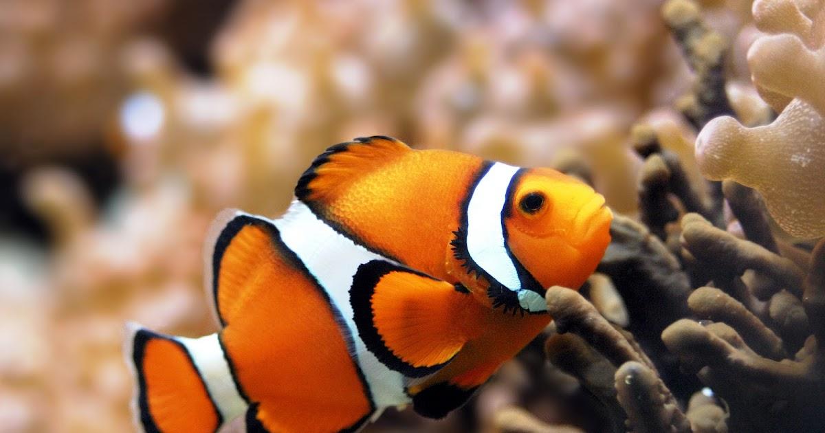 clownfish and nemo fish in habitat planetanimalzone