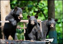 Help Black Bears