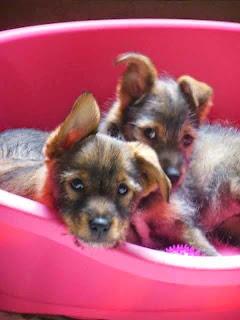 cucciole taglia piccola cani adozione firenze