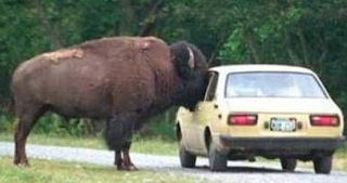 funny picture: bison in the car