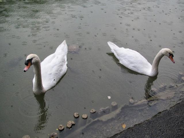 Singapore botanic gardens swans