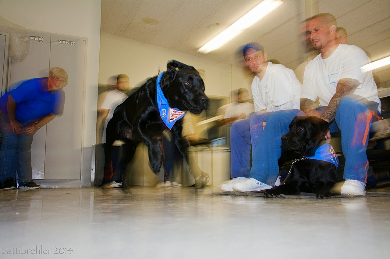 A young black lab is leaping forward from left to right in the center of the photo. He is the only thing in focus. Behind him to the left is a woman dressed in blue jeans and a blue t-shirt, she is leaning over with her hands on her thighs. There are a few men in the far background, and two men on the right sitting on lunch table stools. The men are all wearing the blue prison pants and white t-shirts. There is a black lab lying on the floor between the legs of the man on the right, looking at the puppy flying by. Both labs are wearing the blue Future Leader Dog bandanas.