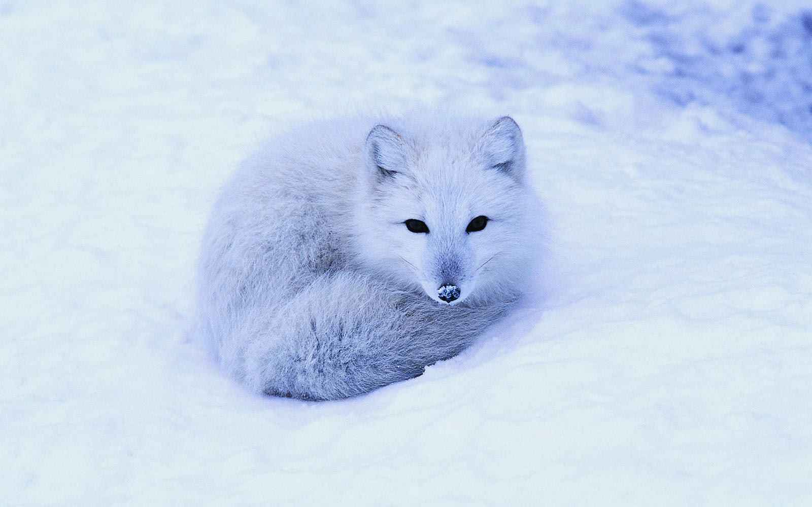 Arctic fox wallpaper