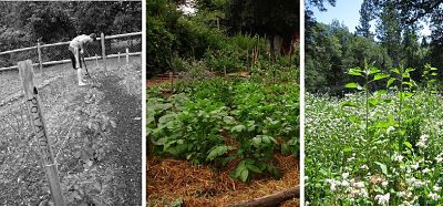 Three photos illustrating different methods of weed control: hoeing potatoes, mulching and ground-cover
