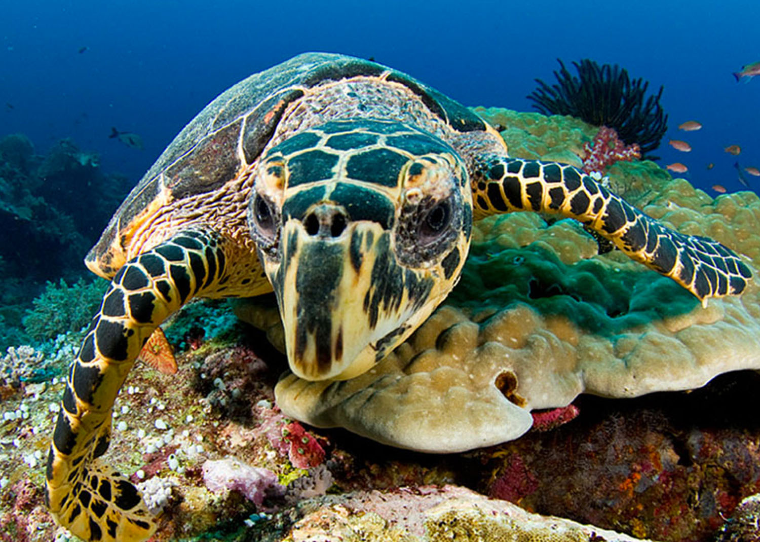 The Hawksbill's Ecosystem Benefits
