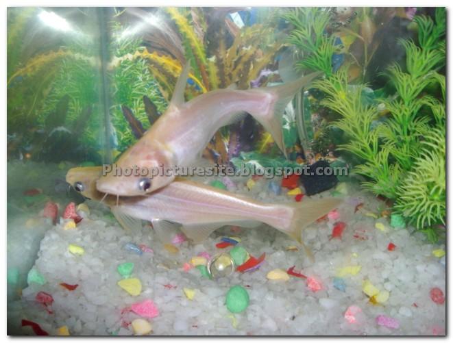 5 tiger shark for Shark fish for aquarium