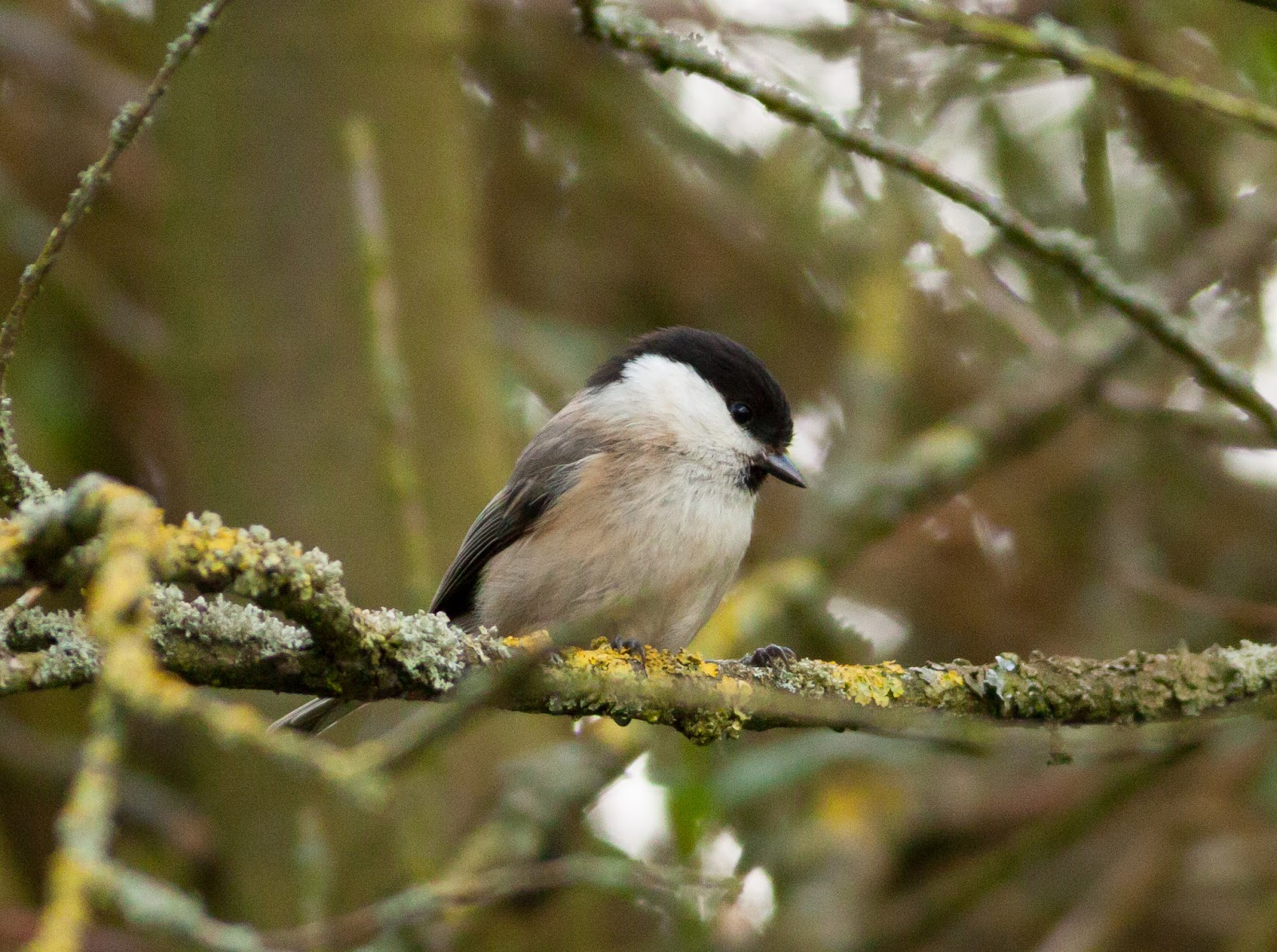 Willow Tit - Pennington Flash