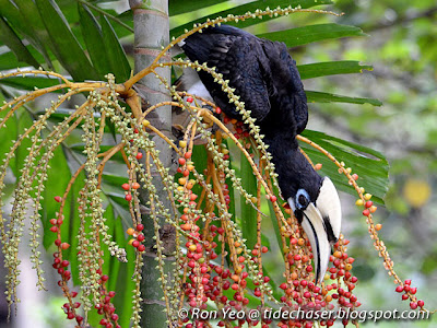 Oriental Pied-hornbill (Anthracoceros albirostris)