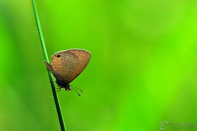 Pereid butterfly. © Bernard Solomon.