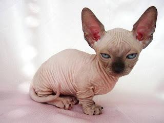 Gambar Kucing Minskin