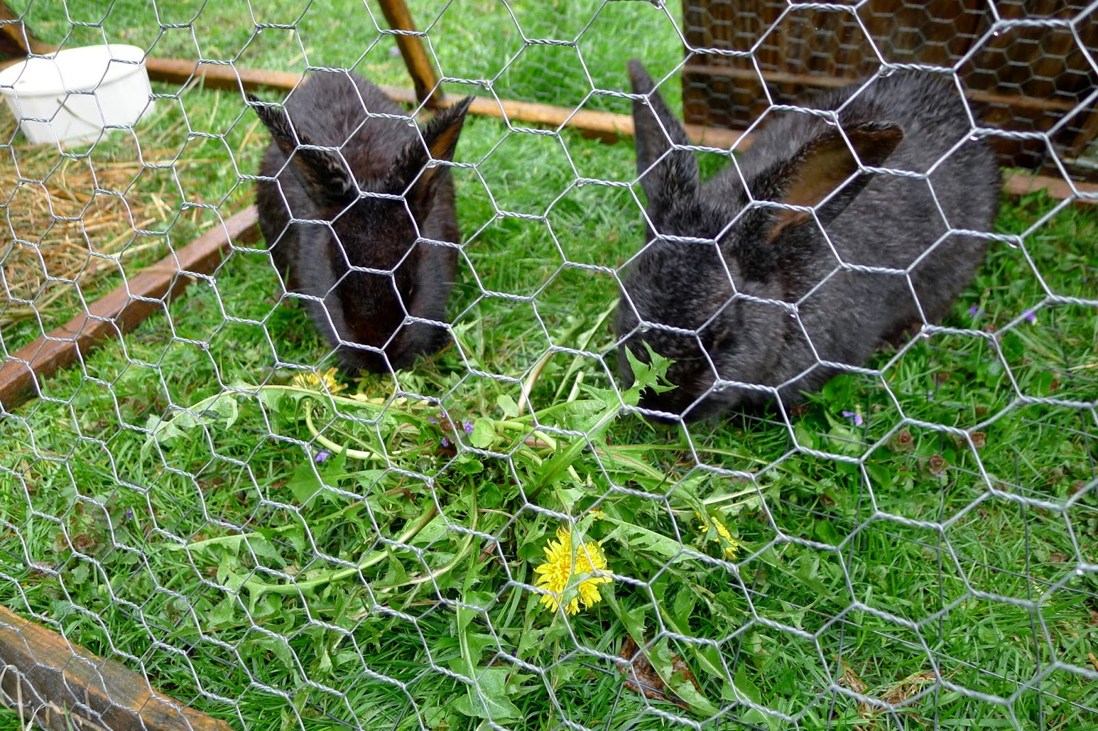 Raising grass fed rabbits for meat, urban farming