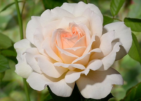 Chandos Beauty rose сорт розы фото