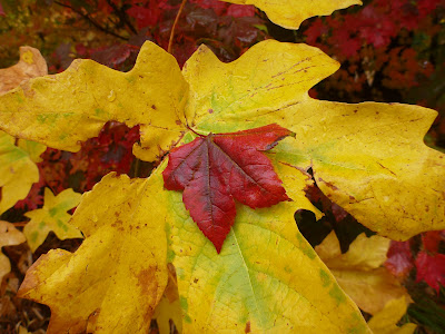 Big Leaf Maple (Acer macrophyllum) leaf with smaller Vine Maple leaf, red (Acer circinatum)