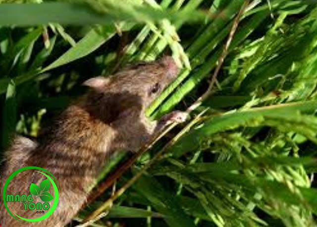 Tips membasmi / mengusir tikus di sawah atau dirumah