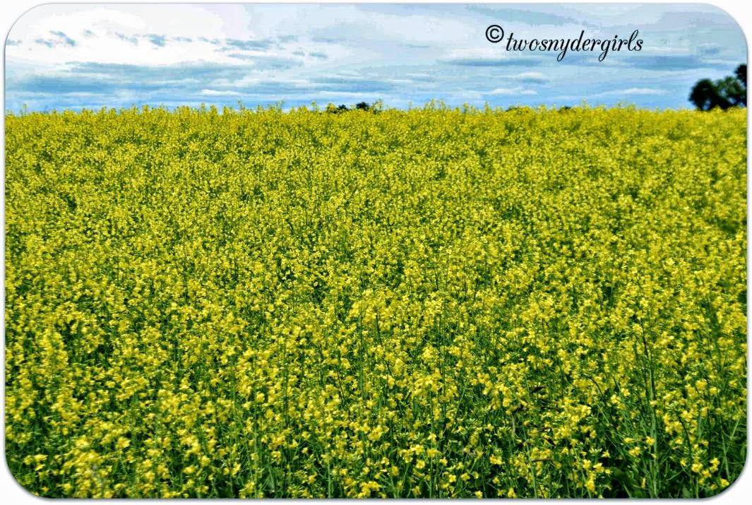 Canola Fields Ontario