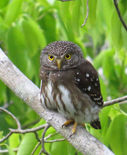 Subtropical Pygmy-Owl