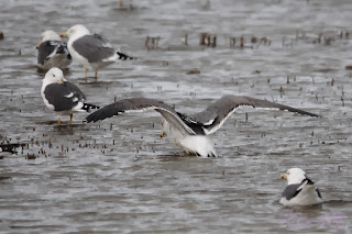 Gaviota sombría (Larus fuscus) Lesser Black-backed Gull