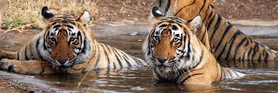 India Wildlife Tours Blog, Tiger Safari Tour Blog, Indian Wildlife Parks, Wildlife Blogs