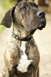 5 month brindle great dane