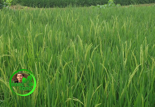 Score / booster padi membuat bulir padi bening
