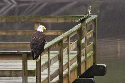 Bald Eagle in Ketchikan