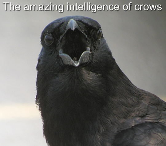 This Crow Is The Smartest Bird Youve Ever Seen (Video)