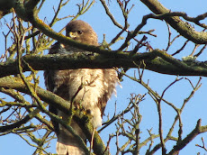 Watchful Buzzard