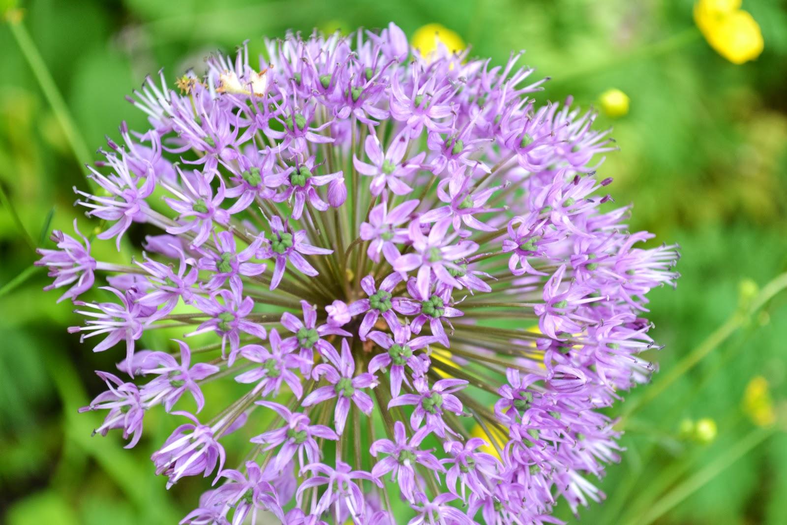 Blue Globe onion or Allium Caeruleum ,botanical garden,lund