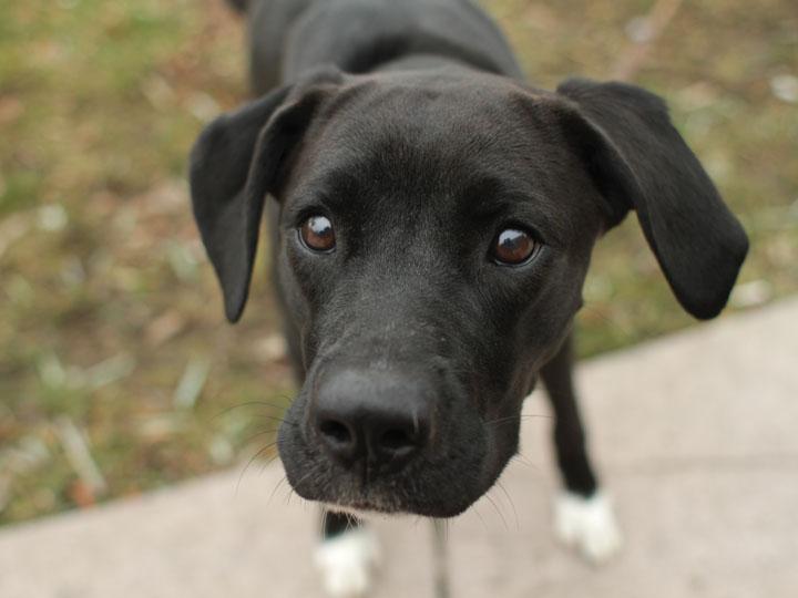 lab pointer dog mix - photo #19