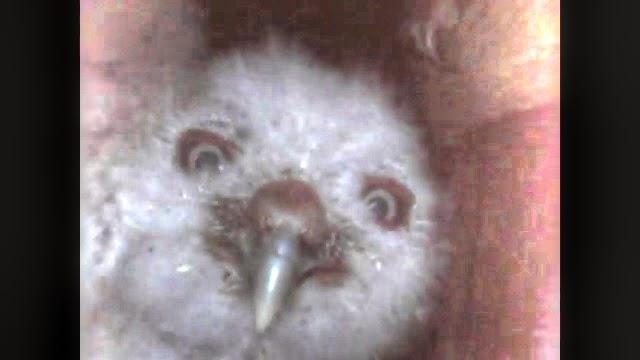 Cute Baby Screech Owl