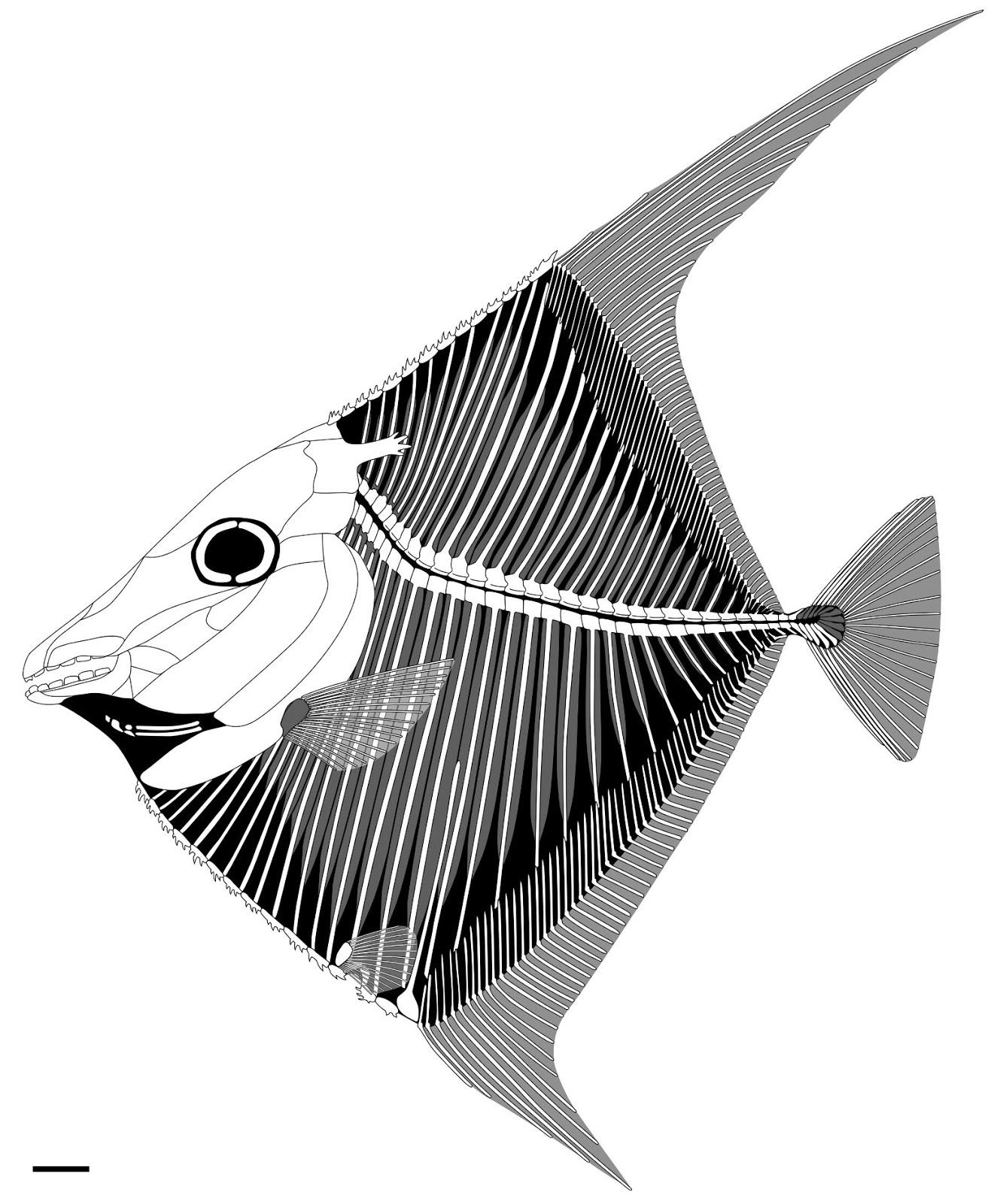 Flagellipinna rhomboides
