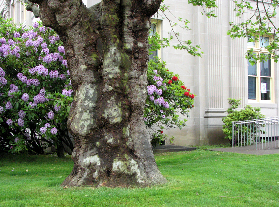 Rhododendrons at the Post Office