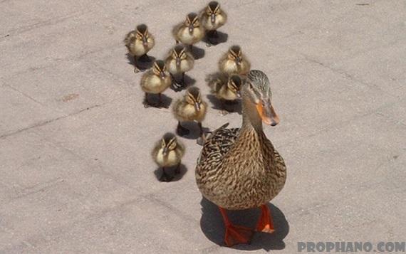 policial interrompe perseguicao para ajudar patos atravessarem pista