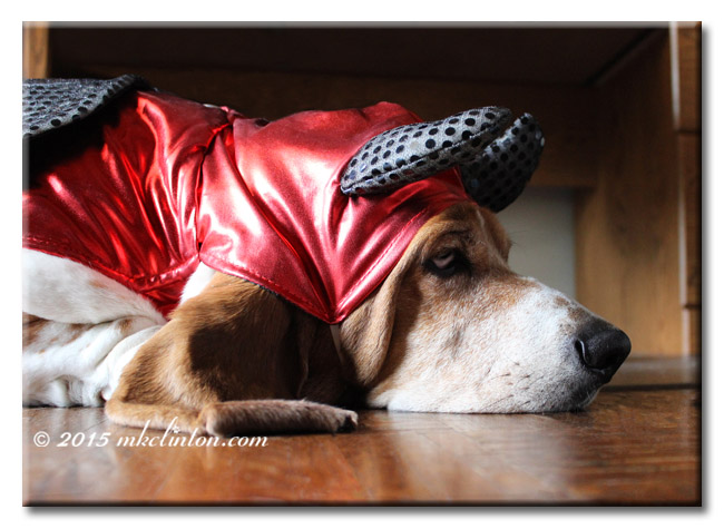 Bentley Basset dressed as the devil resting