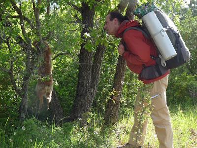 サン・ギエムの道 モンダルディエからブランダへ Montdardier - Blandas 罠にかかった狐