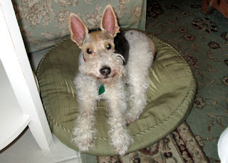 I think Florida weather agreed with Sweetpea, our thirteen-year-old wire fox terrier. Her arthritis improved to the point that she walked like a youngin again. A few days upon returning from our trip, her lungs started gurgling. We found out that she has congestive heart failure. My husband has another week of vacation coming up. We're trying to decide whether she can handle one more trip, as she did so well and seemed so happy.