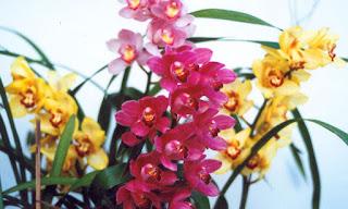 Orquídeas Cymbidium as mais adoradas no Brasil