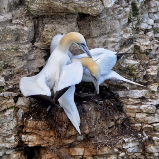 adult gannet grooming his mate