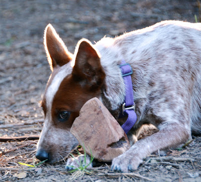 Heeler puppy and chew toy